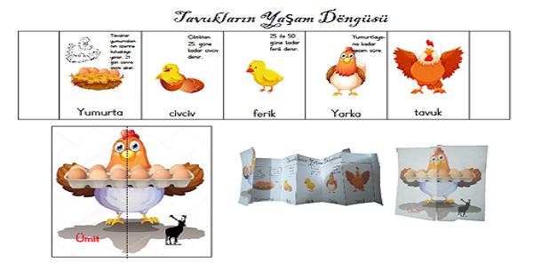 Tavukların Yaşam Döngüsü Etkinliği
